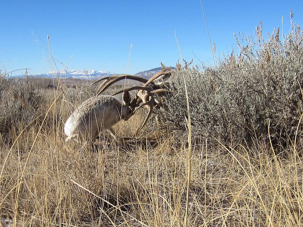the jackalope mating season is in full swing