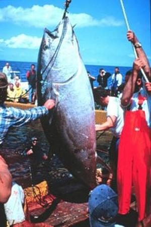 feds confiscate 900 pound blue fin tuna