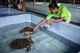 Turtle Conservation Center Aims To Eliminate  Illegal Turtle Trading In Serangan