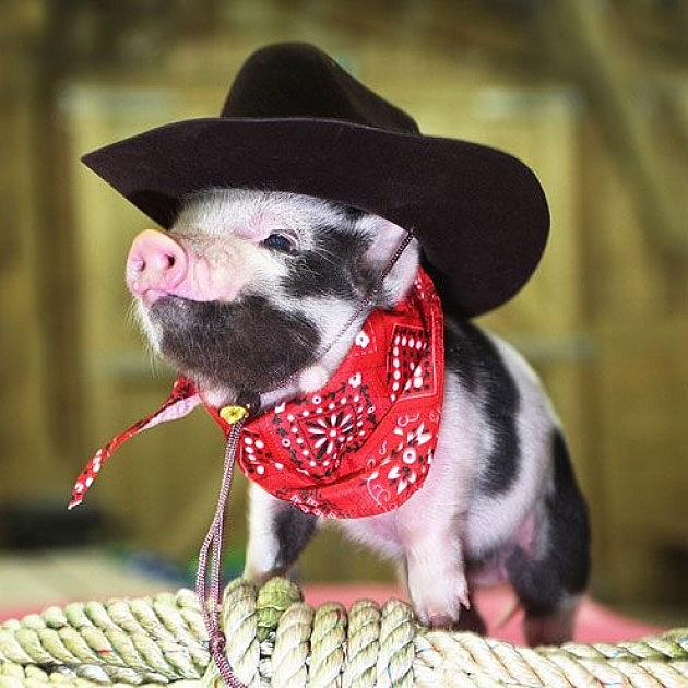 baby pigs wearing people clothes might be the web s cutest tumblr