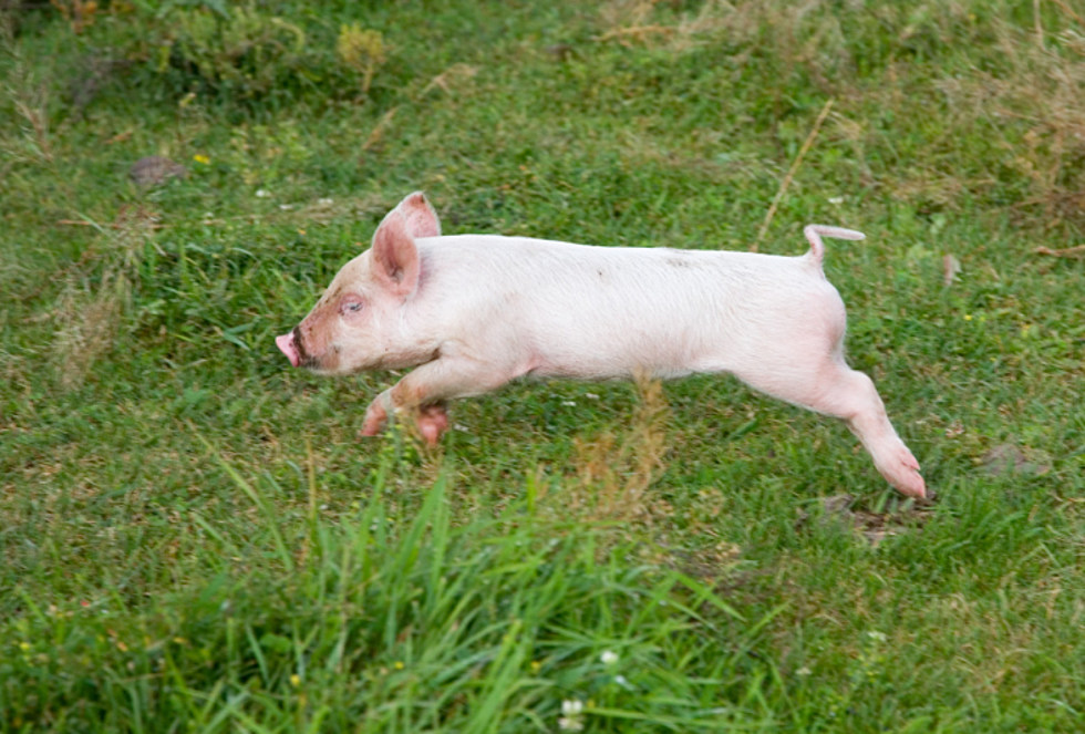 Bet You Didnt Know These 12 Animal Facts And Bet You Want To Be A Pig