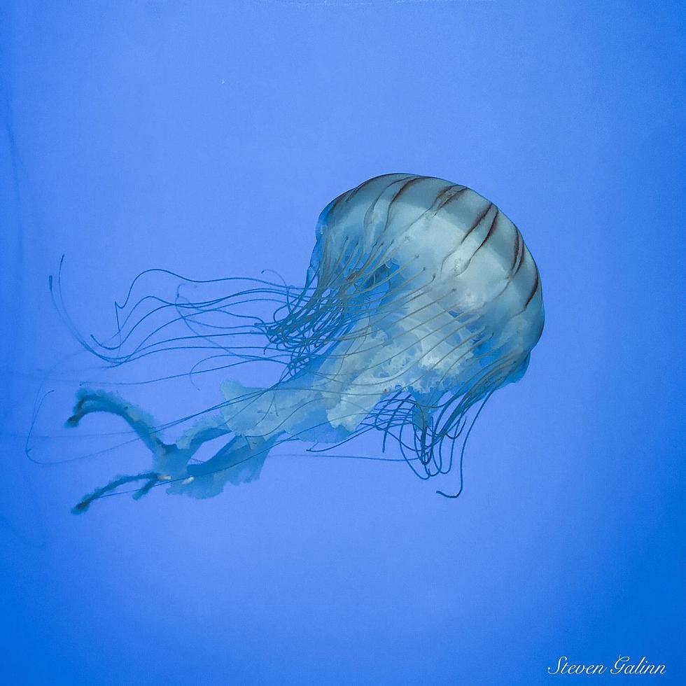 Freshwater jellyfish images