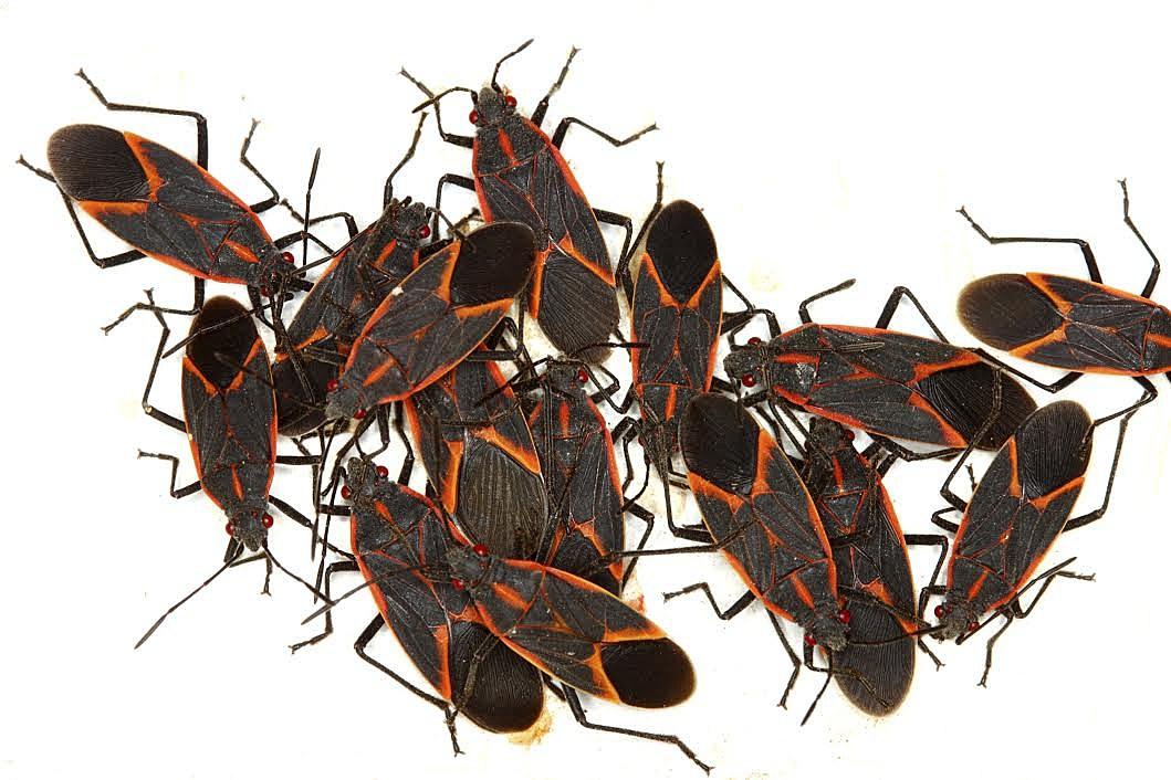 Welcome Back Boxelder Bugs