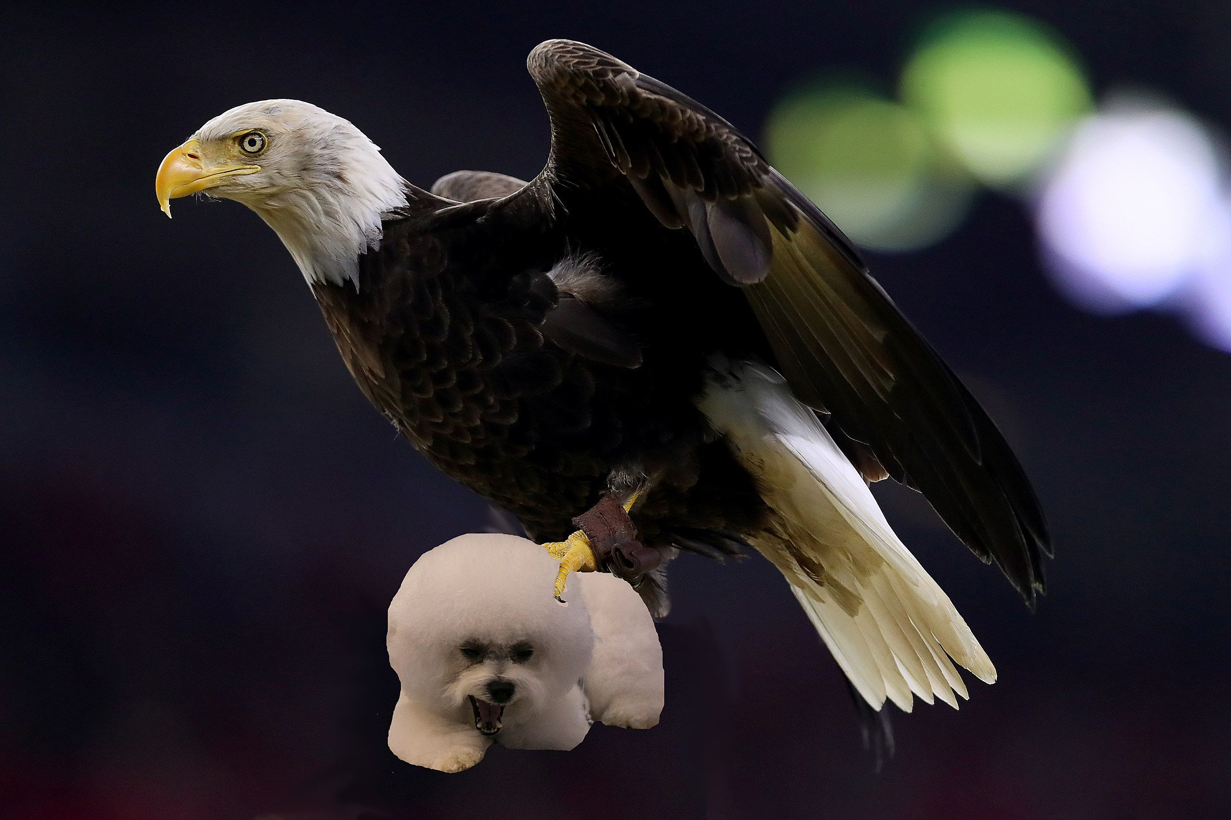 eagle takes dog