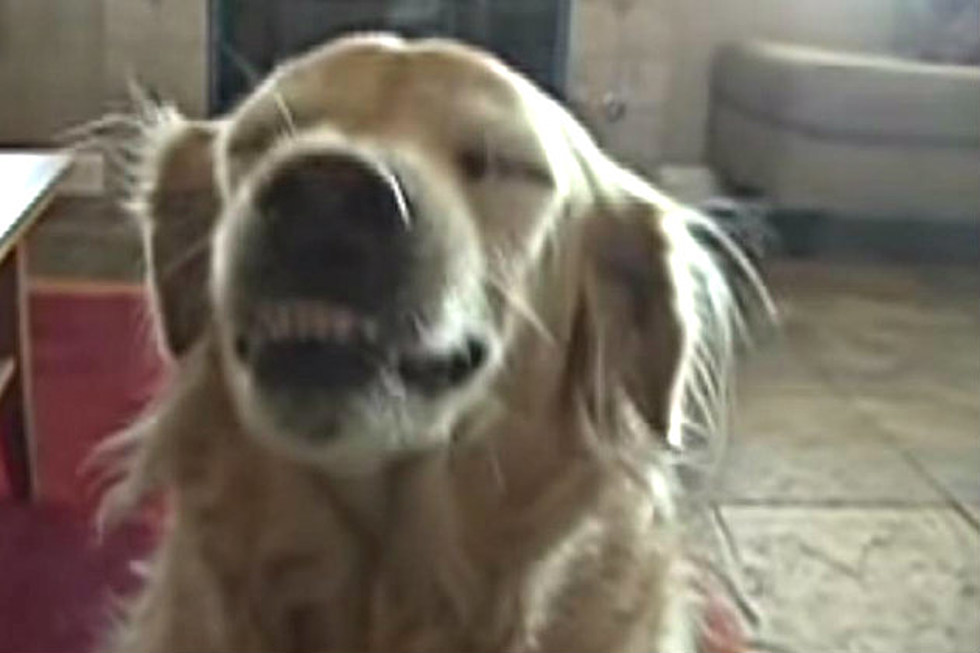 This Golden Retriever Has The Cutest Talent Ever Video