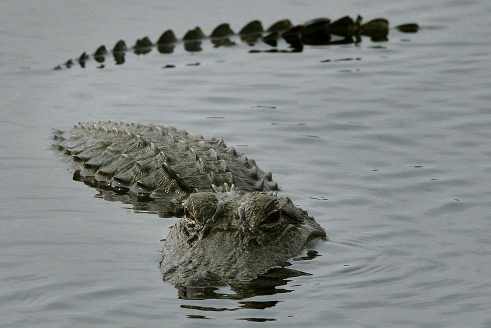 Image result for alligator swimming