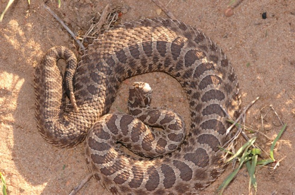 Indiana Rattlesnake Might Be A Threatened Species