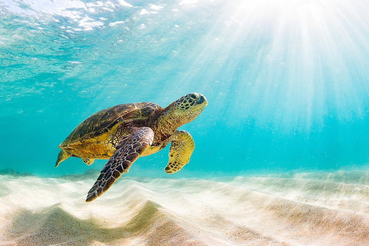 Rare Two-Headed Sea Turtle Discovered PHOTO