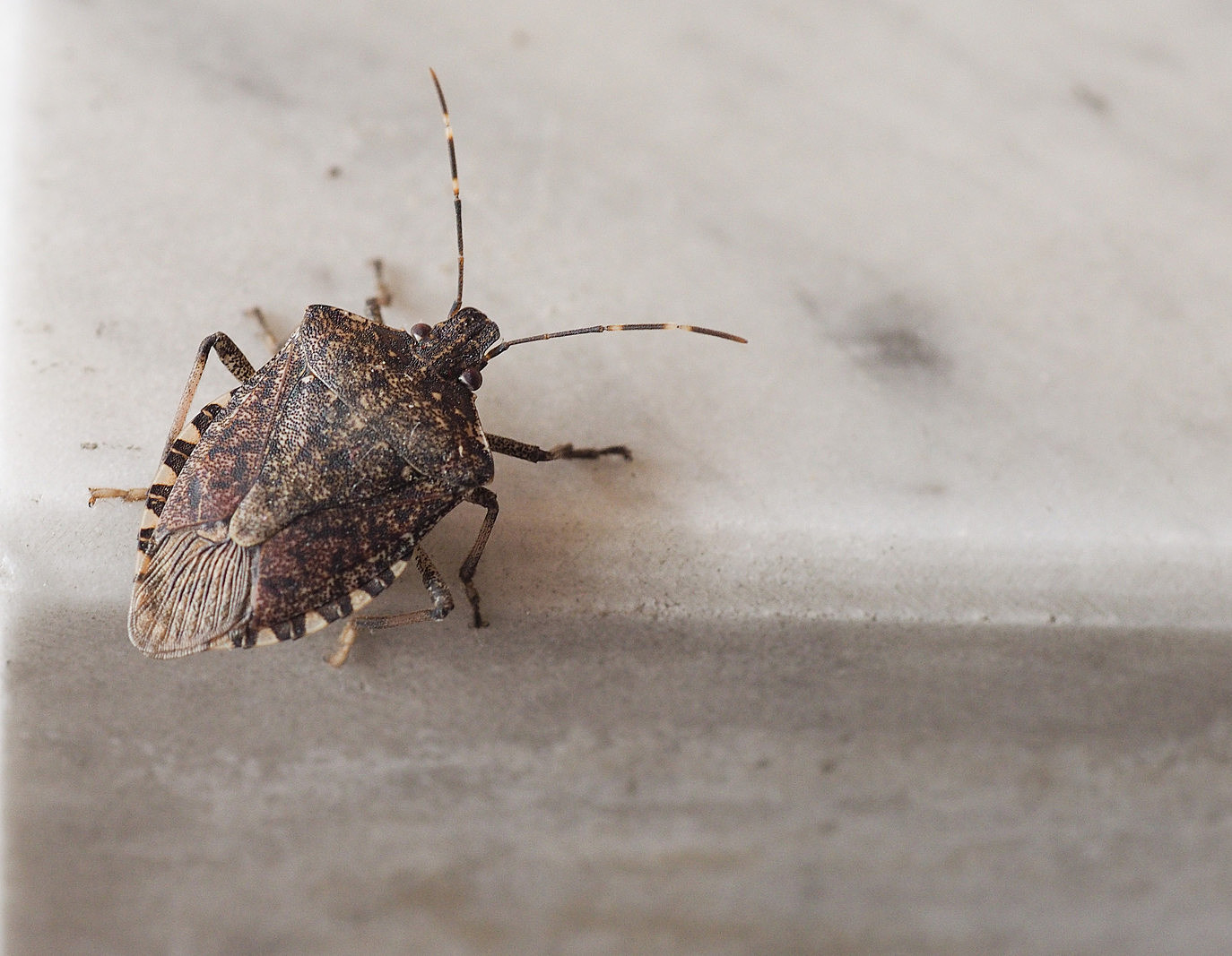 This Year S Stink Bug Season Will Be A Bad One
