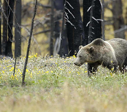 WATCH: Yellowstone Tourist Charged By Grizzly Bear