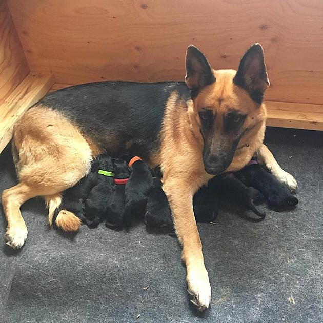 Wyomings Worthy Rmc Shepherds Provide Support With Puppies