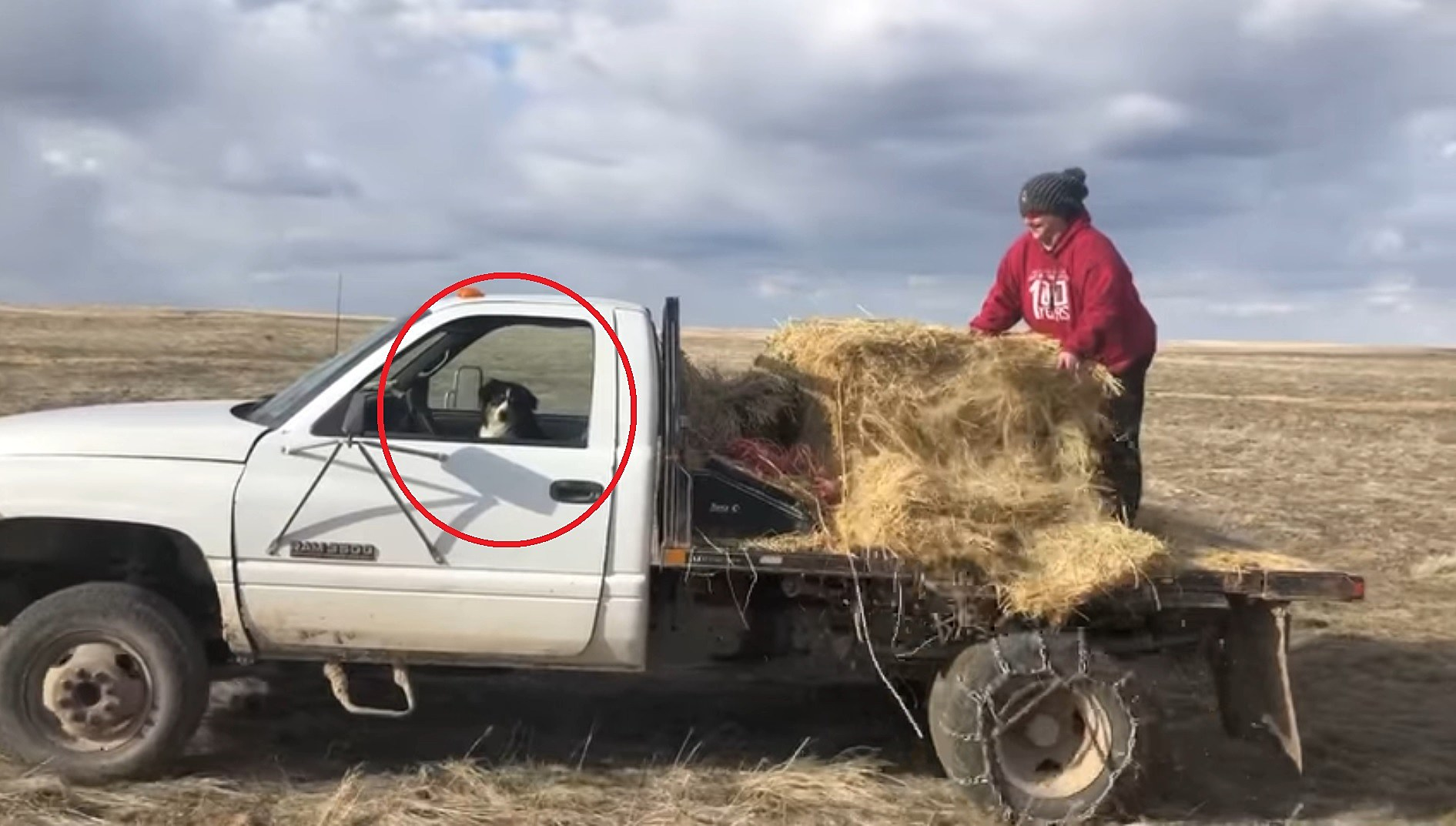 Watch a Wyoming Woman Feed the Cattle While Her Dog Drives
