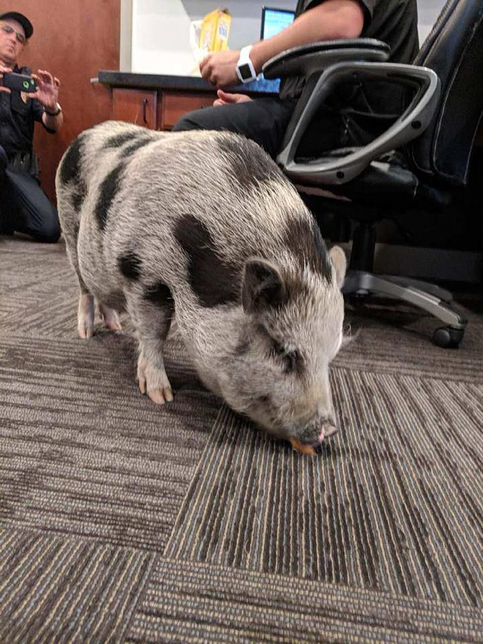 Escaped Pot Belly Pig Found Roaming 395 In Kennewick