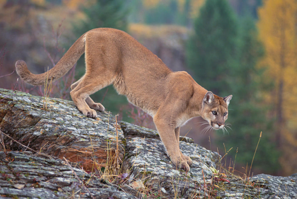 Watch Runner Surprised By Mountain Lion