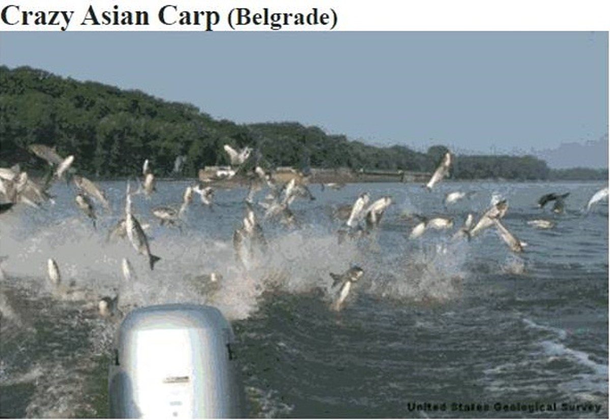 Craigslist Asian Carp Post Determined To Be A Hoax