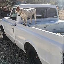 Unsecured Animal in Back of Truck