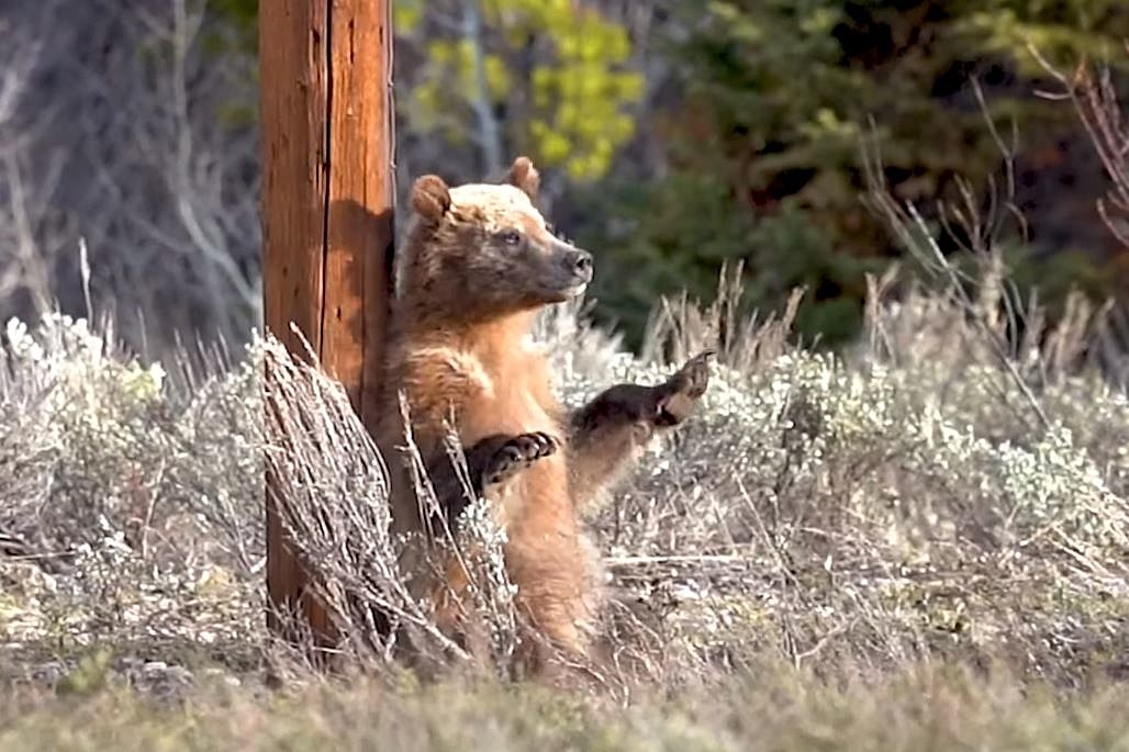 'Pole Dancing' Bear Cubs in the Tetons Is the Cutest Video You'll See Today