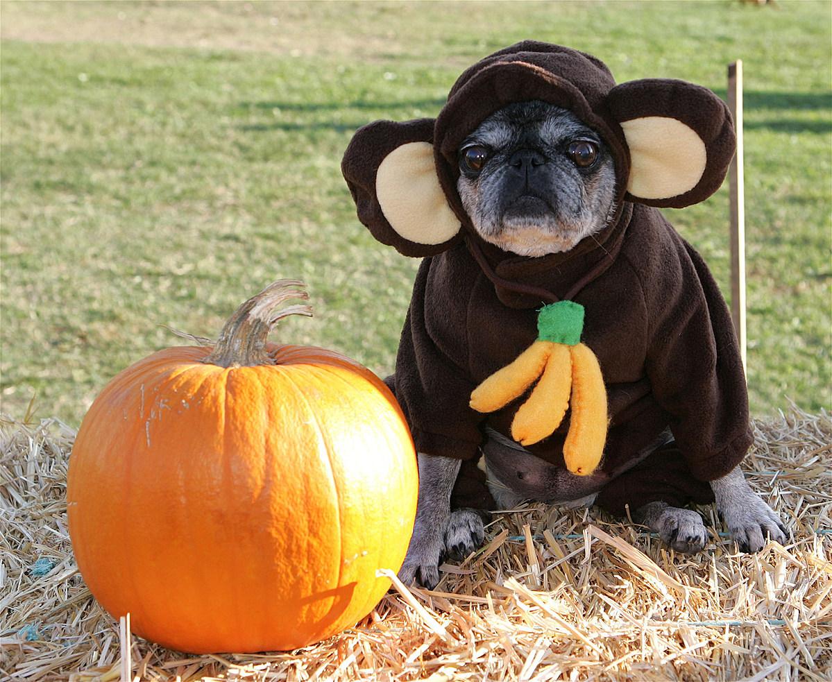 Фото собак в костюмах на хэллоуин