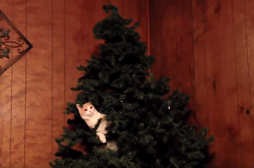 Cats Vs Christmas Trees.Christmas Trees And Cats Don T Always Go Together