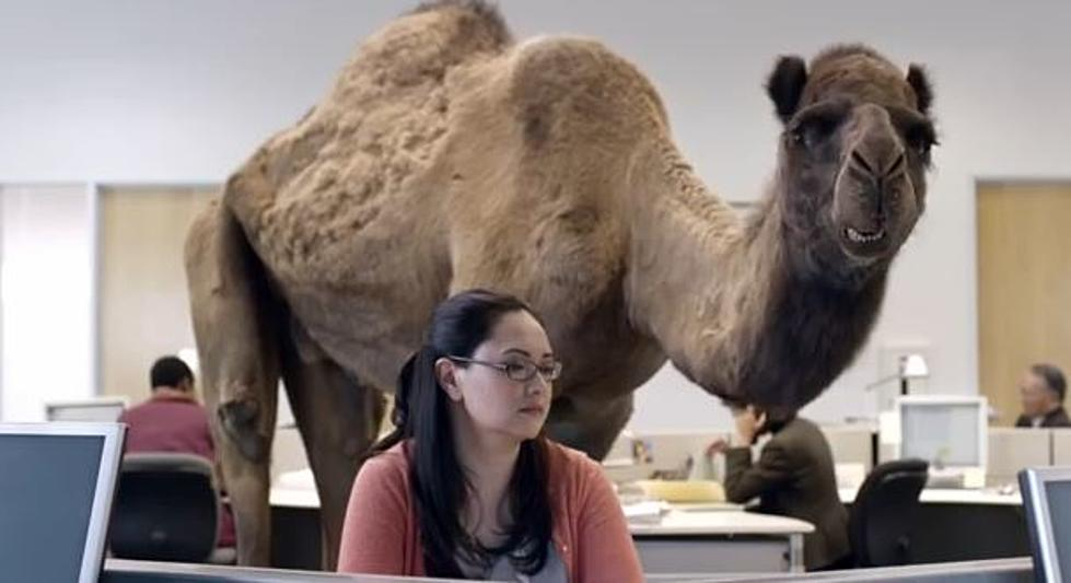 """Meet Chris Sullivan The Voice Of The Geico Camel """"HUMP DAY""""[VIDEO]"""