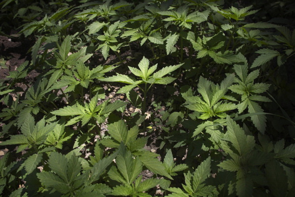 Woman Looking For Pot Posts Craigslist Ad