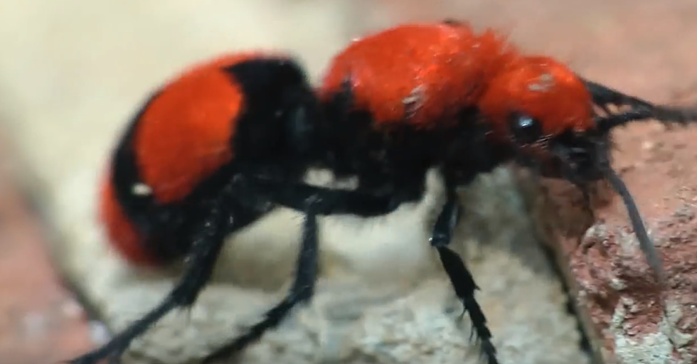 What The Hell Is A Cow Killer Wasp, And Is One In Your Yard?