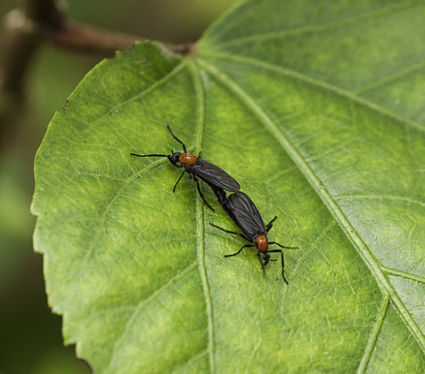 Why Do Love Bugs Stick Together?