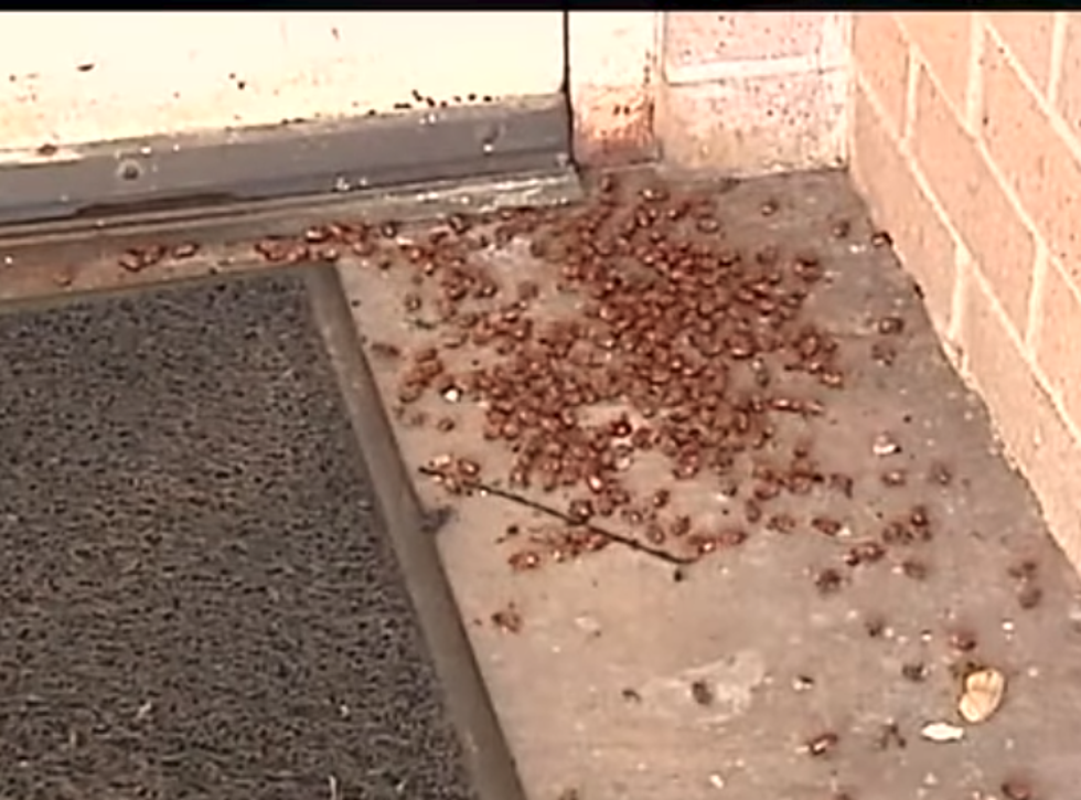 June Bugs Are Everywhere In Louisiana, But Are They Dangerous?