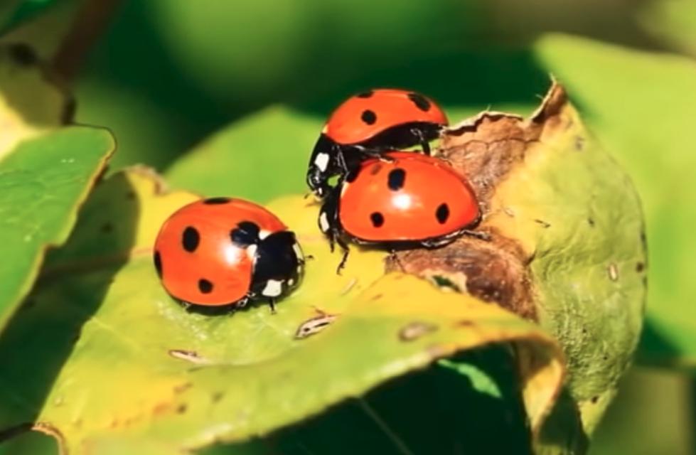 Lady Bug Swarm Shows Up On Weather Service Radar [Video]