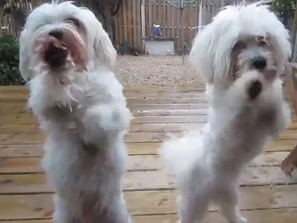 Maltese Puppies Choreograph Cutest Dance Ever Video