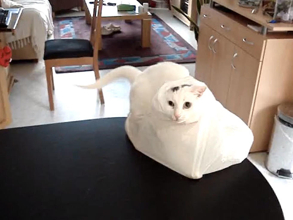 Cats Completely Freaks Out at Plastic Bag
