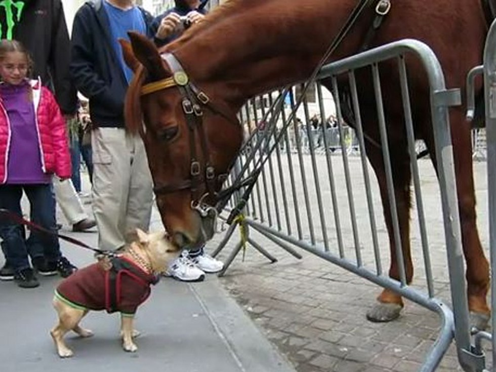 Resultado de imagem para Adorable Dog (Frenchie!) Plays with NYPD Police Horse on Wall Street
