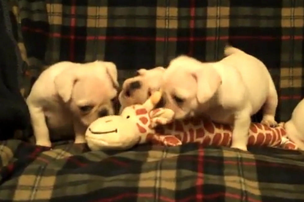 Cuteness Alert! Rare White Pug Puppies Found