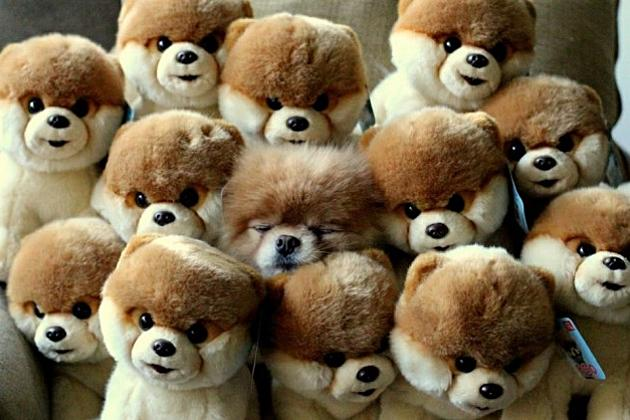 Can You Spot Boo The Dog Among The Stuffed Animals