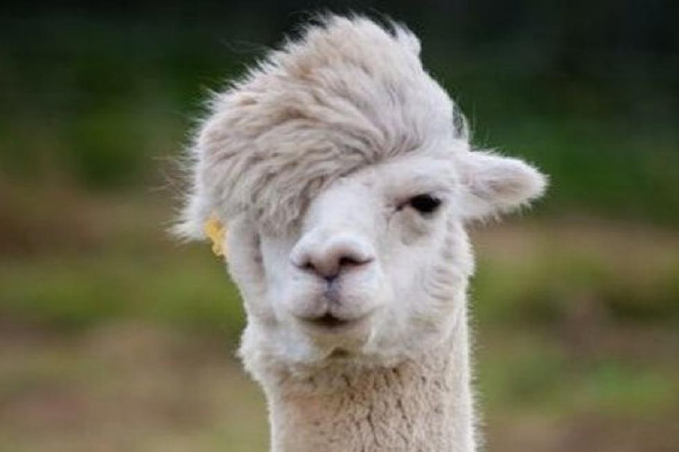 Sarah Spoils The Llama Riddle On Facebook Heres The Answer
