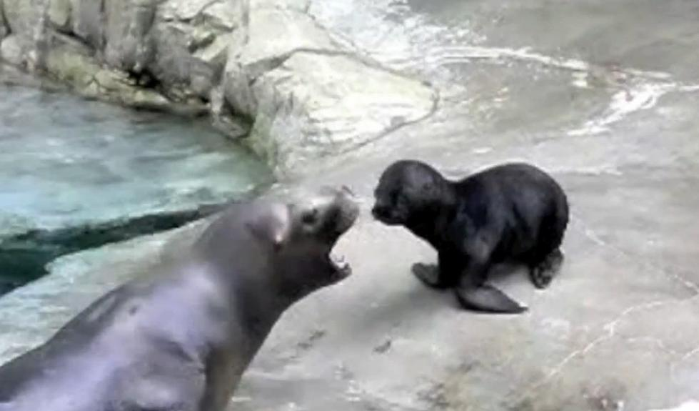 Seals Yell Just Like Humans Do [Video]