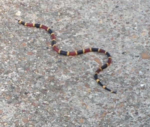 Crowley Police Warn Of Coral Snakes In The Area