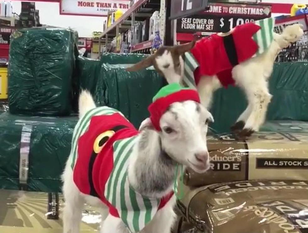 Christmas Goat.Nj Goats Dressed As Christmas Elves Are Viral Video Stars
