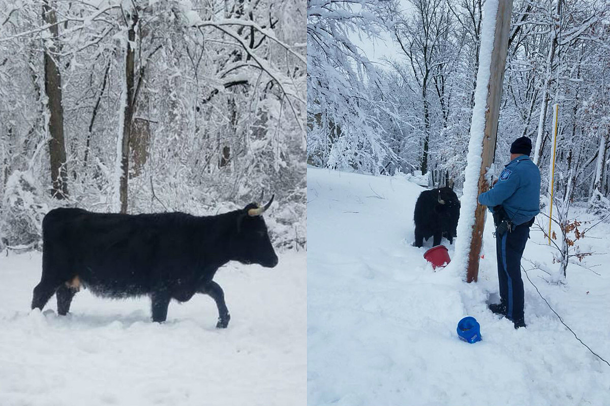 500-pound Bull Found Wandering Through Howell Snow