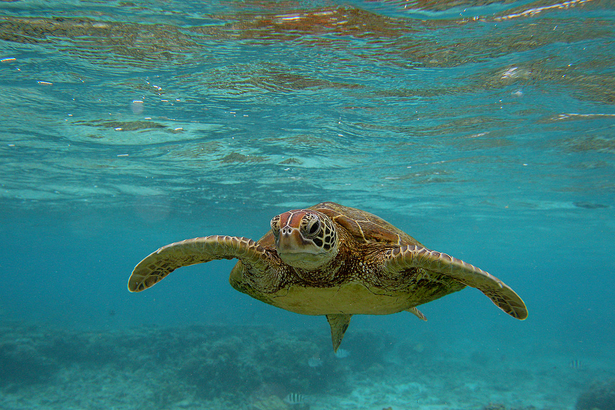 прошла, фото плывущая черепаха один немногих