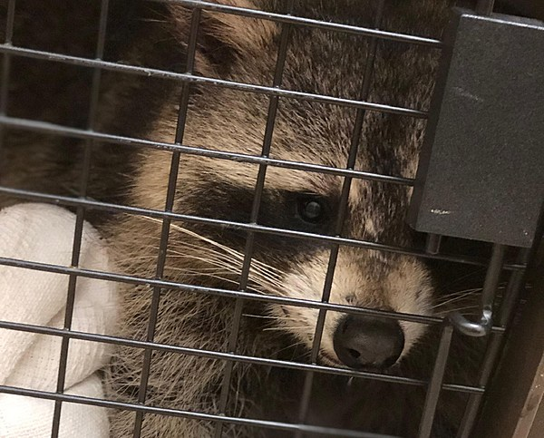 Raccoon beating in Ocean County could ban teens from buying traps