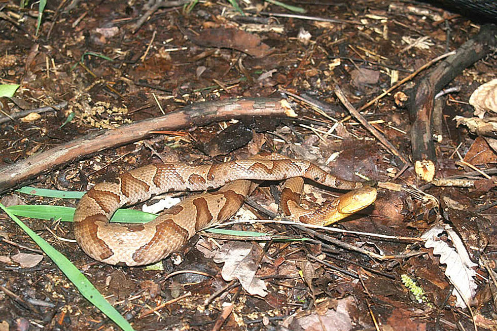 f511006c5 Another venomous copperhead snake in NJ — two in one week