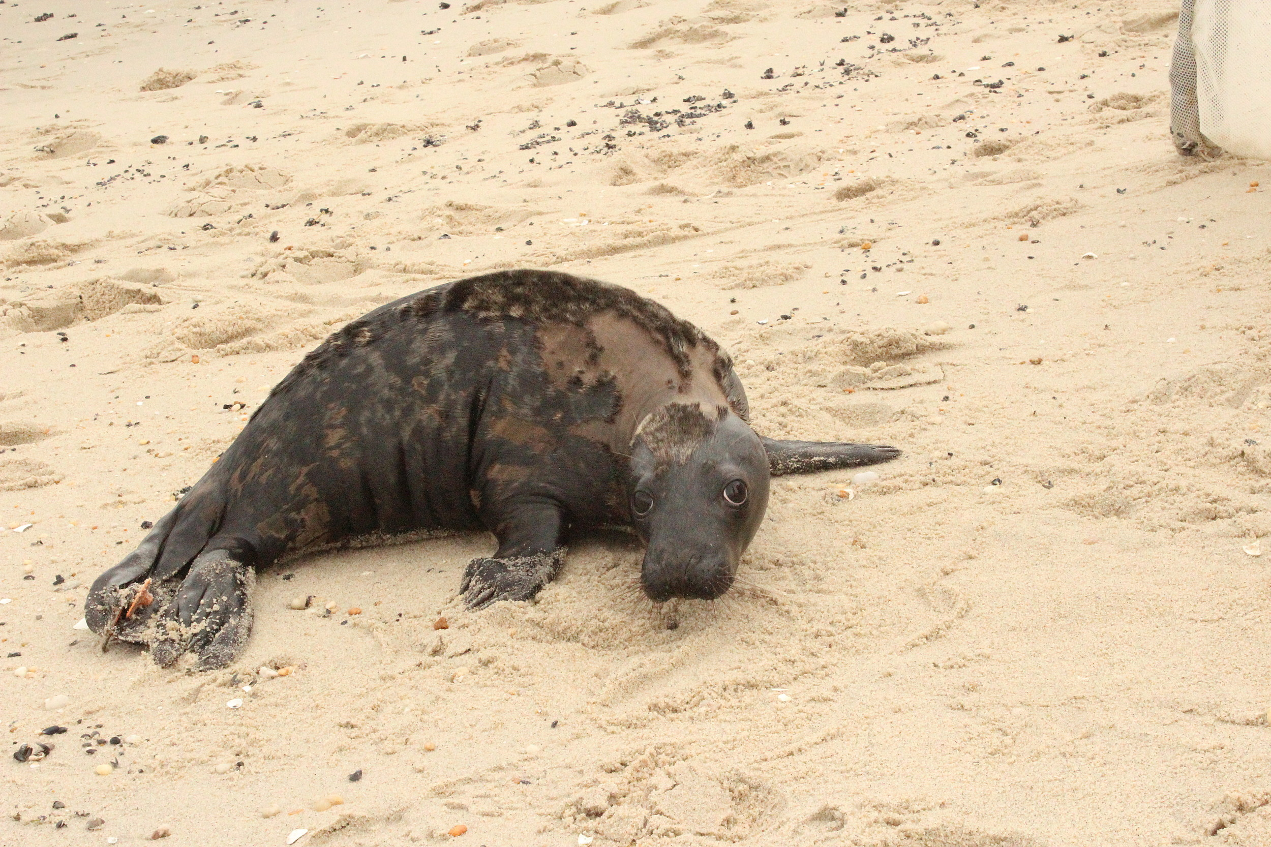 Seals are coming to Jersey Shore beaches. Don't touch them