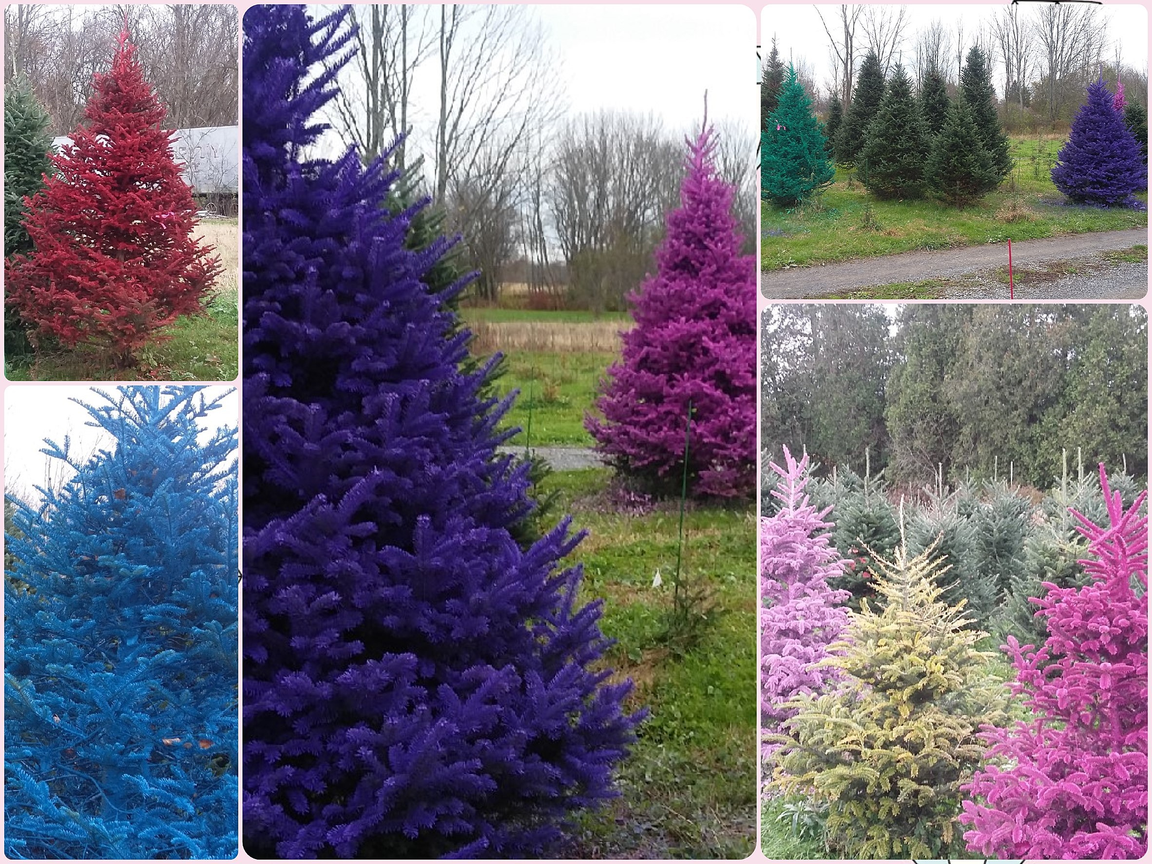 Colored Christmas Trees + New Colors Back for 2020 at Rome Farms