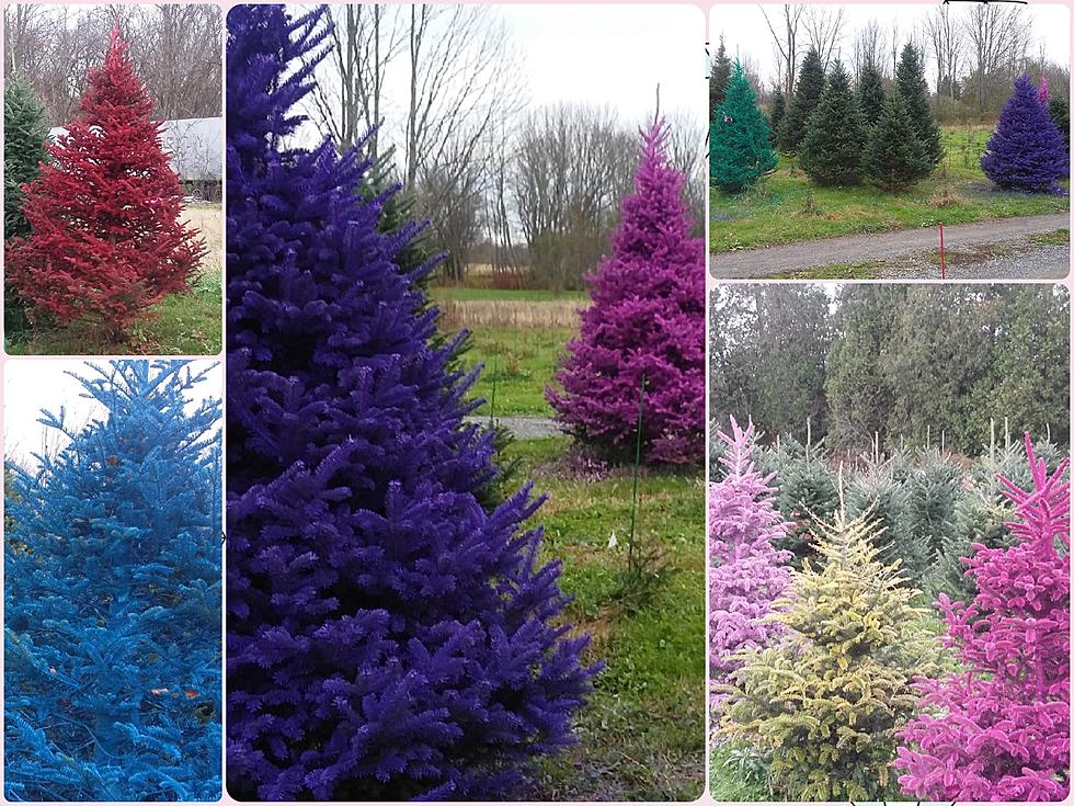 Christmas Tree Colors.Real Colored Christmas Trees Back In Central New York