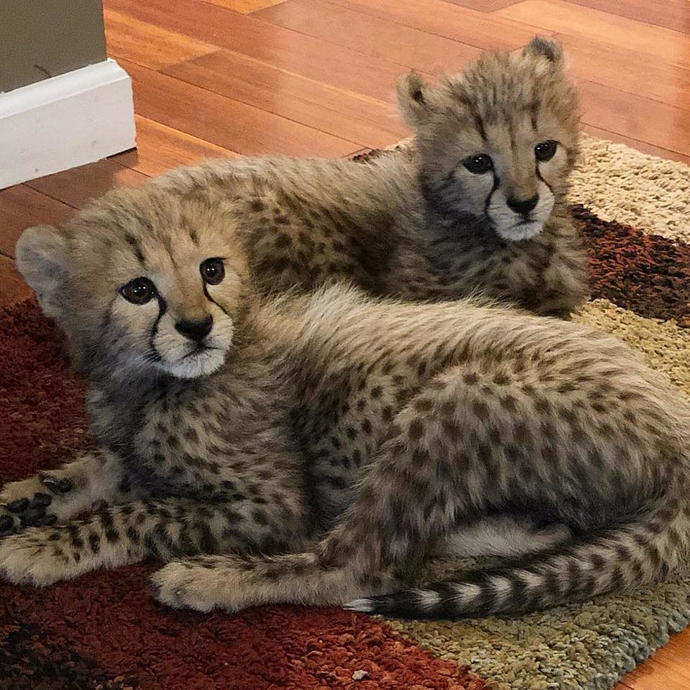 Meet Baby Cheetahs The Newest Additions To The Wild Animal Park