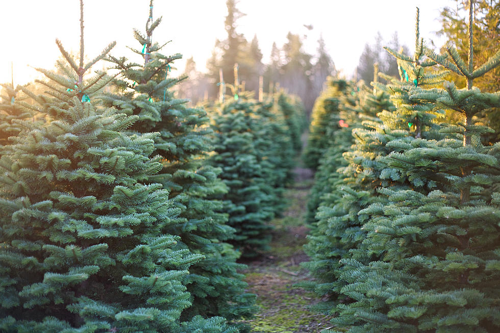 Newman Christmas Trees.Christmas Tree Farm Guide For Monmouth And Ocean County 2019