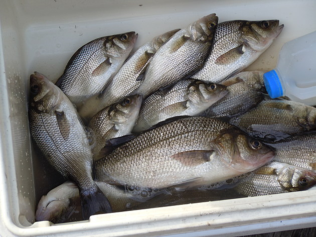 Red Hot White Perch Fishing Going On