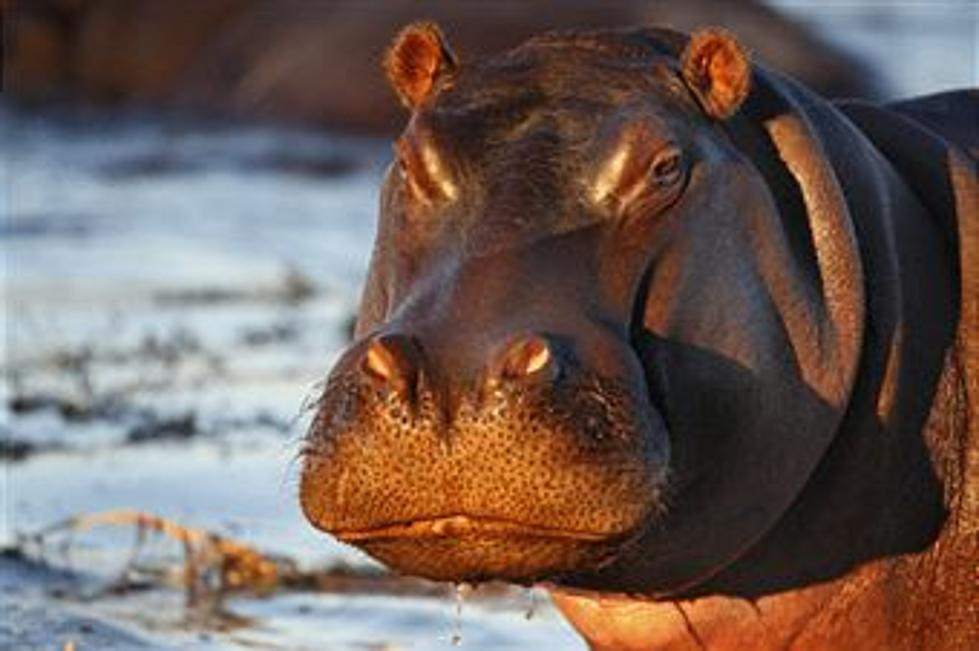 All I Want For Christmas Is A Hippopotamus.Do You Really Want A Hippopotamus For Christmas