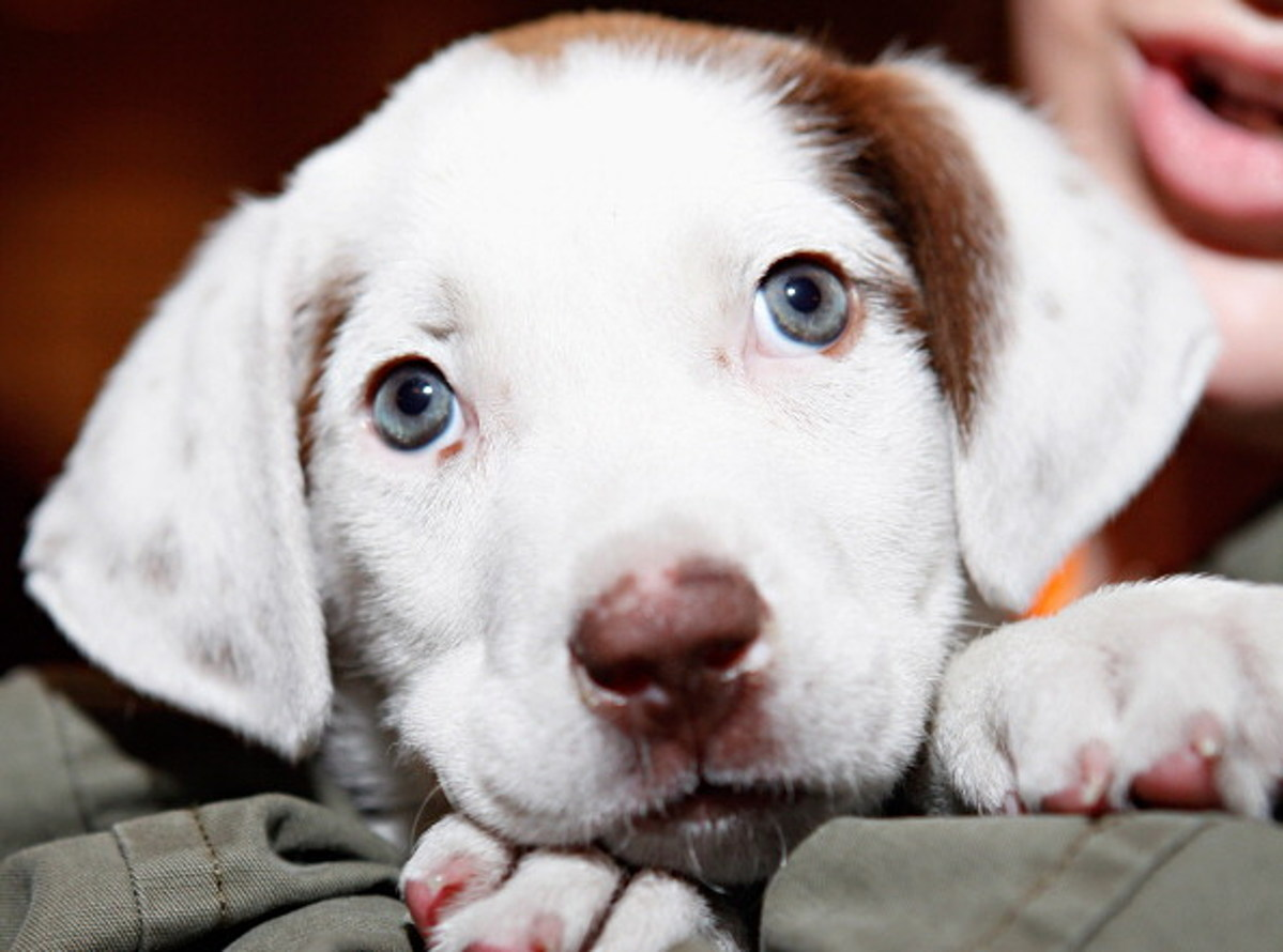 BBB Warns Of Puppy Scams Sweeping New York State